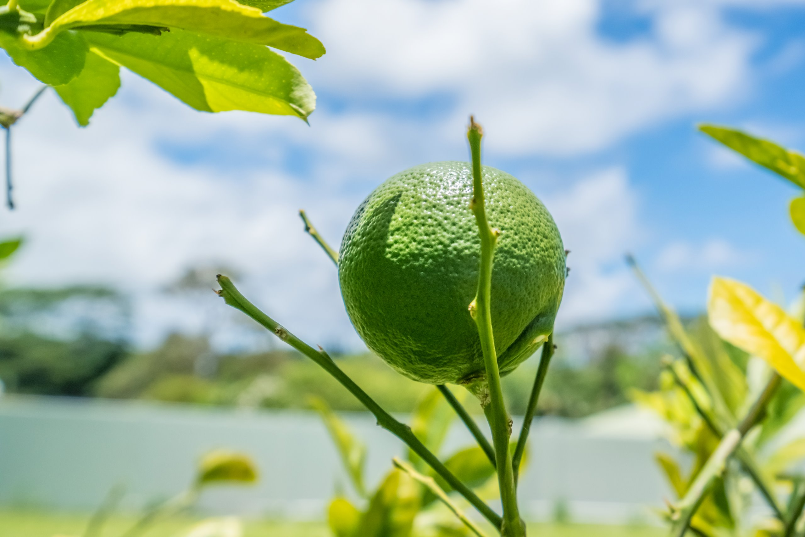 Citrus and edible fruit trees throughout the yard